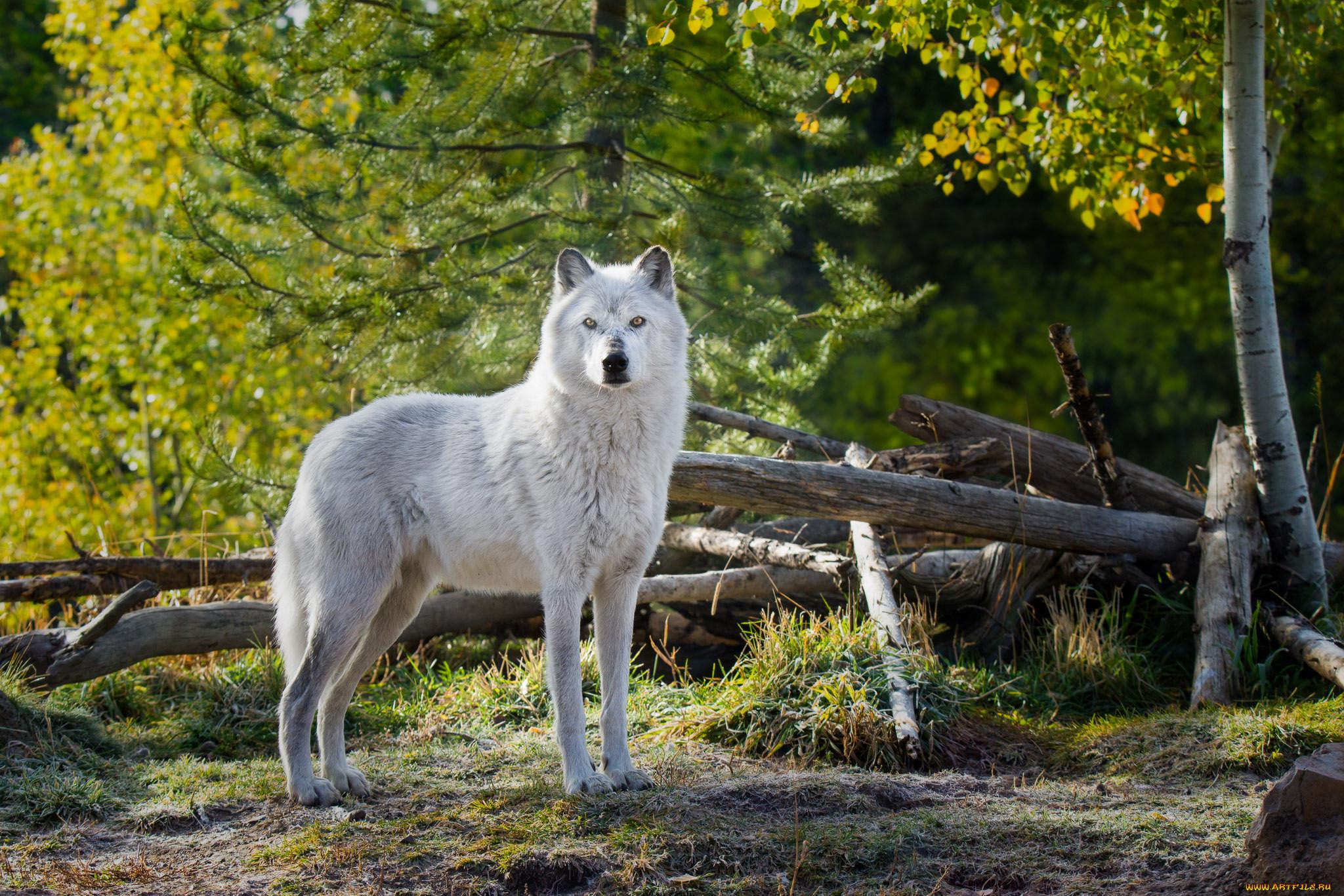 украшения фото белого волка в хорошем разрешение всего вытынанки
